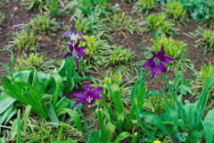Otwiera ciemnych purpurowych tulipany w jeden parki Obrazy Royalty Free