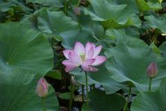 Otwiera jak Lotosowy kwiat zdjęcie royalty free