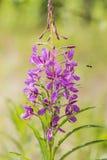 Otwiera kwiat wierzby herbaty Zdjęcia Royalty Free