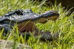 Otwiera Szerokiego aligatora Zdjęcia Stock