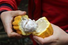 Otwiera ten cacao strąka i znajduje out co jest osobą wtajemniczoną? Zdjęcie Royalty Free