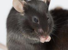 Otyłe i healty chude myszy Fotografia Stock
