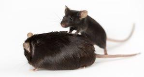 Otyłe i healty chude myszy Obrazy Stock