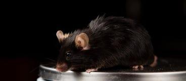 Otyła mysz na skala Obraz Royalty Free