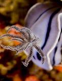 Ouïes de nudibranch de willani de Chromodoris Images stock