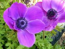 Ou a anêmona bonita da coroa de Yehuda floresce 2011 Imagem de Stock