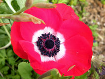 Ou anêmona vermelha 2011 da coroa de Yehuda Imagens de Stock
