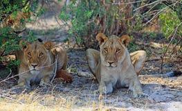 OU do olhar dois Liones abaixo de um arbusto fotos de stock