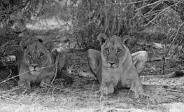 OU do olhar dois Liones abaixo de um arbusto em preto & em branco fotos de stock royalty free