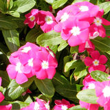 Ou fleur 2010 de Yehuda Phlox Images stock
