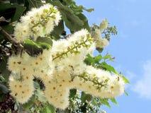 Ou l'eucalyptus de Yehuda fleurit en mai 2011 Photographie stock