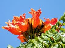 Ou la fleur de campanulata de Yehuda Spathodea a isolé 2010 Photos stock