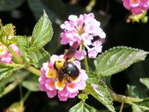 Ou le bourdon de Yehuda sur le Lantana fleurit 2011 Images stock