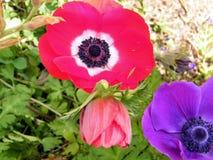 Ou Yehuda a anêmona da coroa floresce 2011 Imagem de Stock
