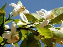 Ou Yehuda la fleur 2011 de pamplemousse Image stock