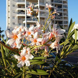 Ou Yehuda Nerium Oleander 2010 imagens de stock