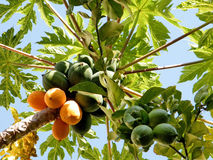Ou Yehuda Papaya et citrons 2010 Photo stock