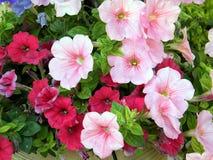 Ou Yehuda Petunia 2010 Images stock