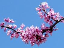 Ou Yehuda redbud flor março de 2012 Imagem de Stock