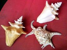 Ou Yehuda Three Sea Shells August 2010 Images libres de droits