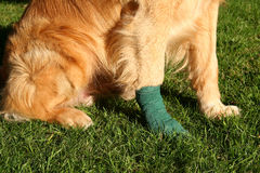 Ouch. Golden retrieval pow in bandage stock photo
