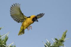 Ouch can I land?. Lesser Masked weaver landing on Acacia branch with thorns in Serengeti National Park, Tanzania stock image