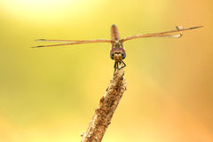 Ouch! My Wing!. A defected dragon fly i found in my back yard royalty free stock photo