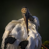 Ouch!. This wood stork is preening royalty free stock image