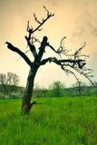 Oud bended appelboom Royalty-vrije Stock Afbeeldingen