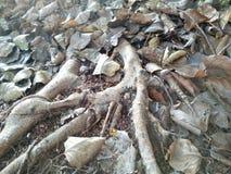 Oud blad en wortel geschoten boom Stock Afbeelding