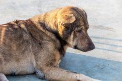 Oud bruin hondkielzog omhoog in de ochtend Stock Afbeeldingen