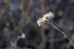 Oud droog gras van een installatie of een stekelige bloem Royalty-vrije Stock Afbeeldingen