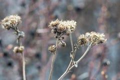Oud droog gras van een installatie of een stekelige bloem Royalty-vrije Stock Fotografie
