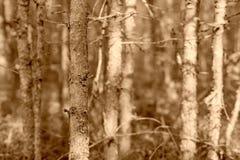 Oud droog hout van kleurensepia Stock Foto's