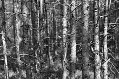 Oud droog hout van zwart-wit toon Royalty-vrije Stock Afbeeldingen