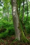 Oud eiken verpakt boom gedeeltelijk mos Stock Afbeelding