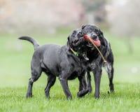 Oud en Jong Zwart Labrador die een stuk speelgoed of een kinderspel in hun monden samen houden stock afbeeldingen