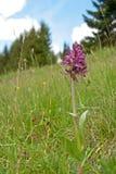 Oud-gebloeide sambucina van Orchideedactylorhiza Royalty-vrije Stock Afbeelding