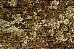 Oud hout met korstmos Stock Afbeeldingen