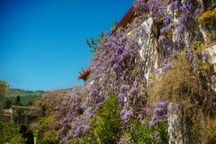 Oud huis en bloeiende purpere wisteriawijnstokken royalty-vrije stock foto's