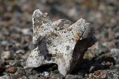 Oud kariboe gewerveld die been op de noordpooltoendra, dichtbij Arviat wordt gevonden Royalty-vrije Stock Fotografie