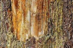 Oud litteken op een spar Royalty-vrije Stock Fotografie