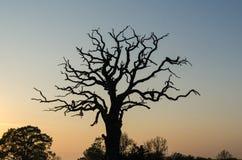 Oud machtig eiken boomsilhouet stock afbeelding
