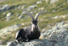 Oud mannetje dat in Gredos ligt Royalty-vrije Stock Foto's