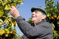 Oud mens het plukken fruit Royalty-vrije Stock Afbeeldingen