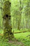 Oud natuurlijk bos Stock Foto