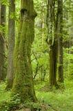 Oud natuurlijk bos Stock Afbeeldingen