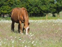 Oud paard Stock Foto