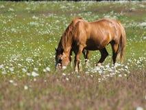 Oud paard Royalty-vrije Stock Afbeelding