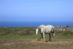 Oud Paard die Cornwall Engeland weiden Stock Afbeeldingen